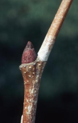 Platanus occidentalis (sycamore), lateral bud on twig
