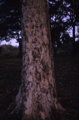 Platanus occidentalis (sycamore), trunk at base