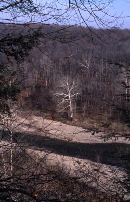Platanus occidentalis (sycamore), late fall near creek