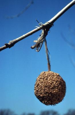 Platanus occidentalis (sycamore), single seed head hanging from twig with buds