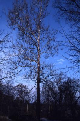 Platanus occidentalis (sycamore), winter