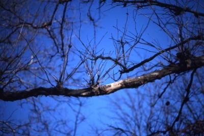Platanus occidentalis (sycamore), diseased branch and twigs