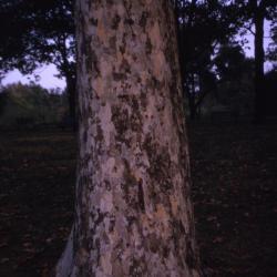 Platanus occidentalis (sycamore), trunk at base