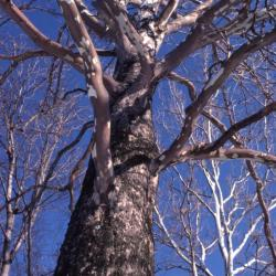 Platanus occidentalis (sycamore), bare tree trunk and branches