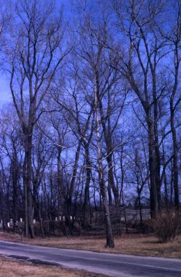 Platanus occidentalis (sycamore), bare tree near road