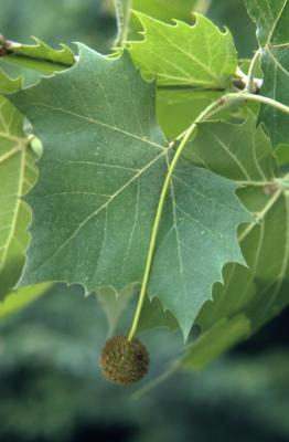 Platanus occidentalis (sycamore), flower ball and leaves