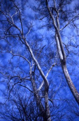 Platanus occidentalis (sycamore), bare treetops