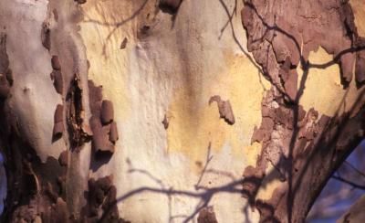 Platanus (planetree), unidentified species, bark