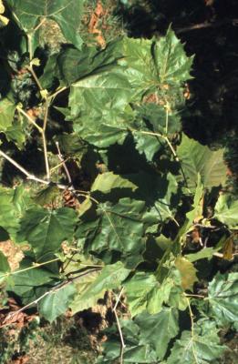 Platanus occidentalis (sycamore), diseased twigs and leaves