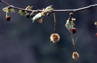 Platanus occidentalis (sycamore), hanging fruit and flower balls with leaves on twigs