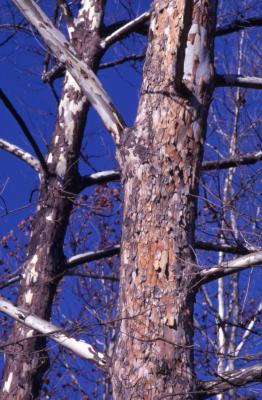 Platanus occidentalis (sycamore), tree trunks