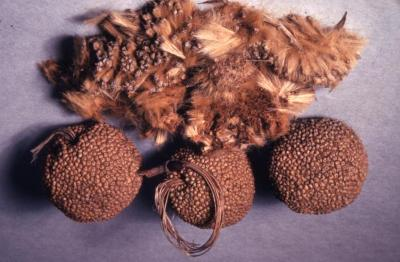 Platanus occidentalis (sycamore), seed heads and seeds