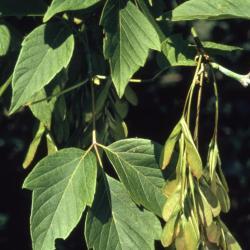 Acer negundo (boxelder), fruit and leaves