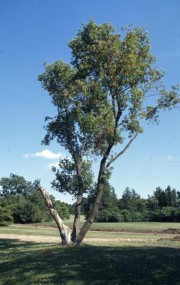 Acer negundo (boxelder), summer