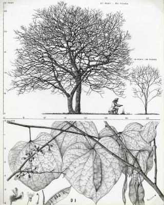 Tree Portrait: Cercis canadensis