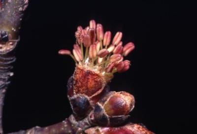 Acer x freemanii (Freeman's maple), flower