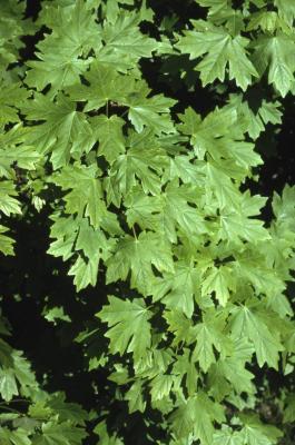 Acer grandidentatum (big-toothed maple), leaves