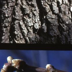 Acer negundo (boxelder), bark and twig