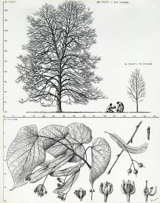 Tree Portrait: Tilia americana