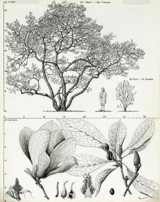 Tree Portrait: Magnolia soulangiana