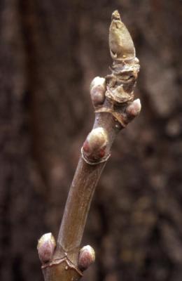 Acer negundo (boxelder), twig and buds