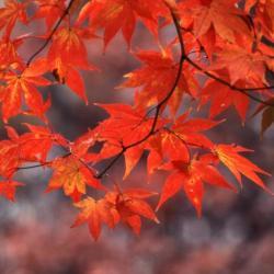 Acer nigrum (Black Maple), leaf, fall