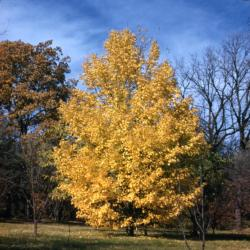 Acer grandidentatum (big-toothed maple), fall color