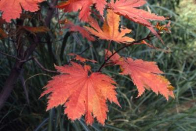 Acer japonicum 'Vitifolium' (Grape-leaved fullmoon maple), leaves in fall