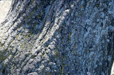 Acer negundo (boxelder), bark