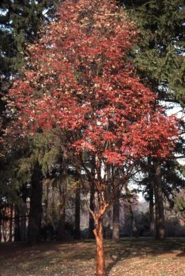 Acer griseum (paper-barked maple), fall