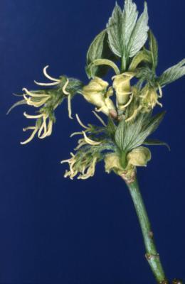 Acer negundo (boxelder), female flower