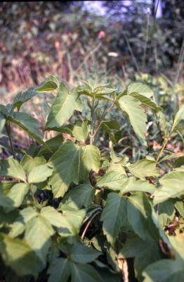 Acer negundo (boxelder), leaves