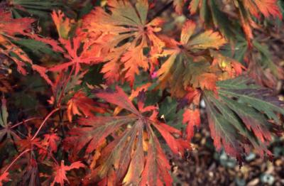Acer japonicum 'Aconitifolium' (Fern-leaved fullmoon maple), leaves in fall