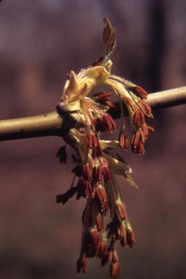 Acer negundo (boxelder), flowers