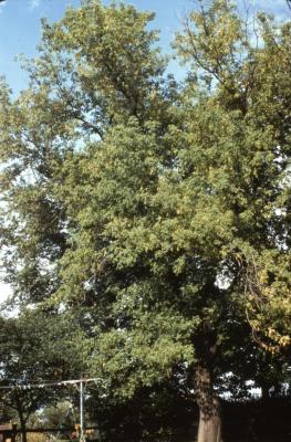 Acer negundo (boxelder), spring