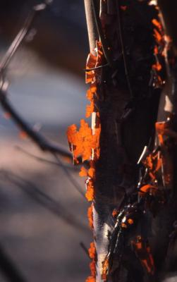 Acer griseum (paper-barked maple), bark