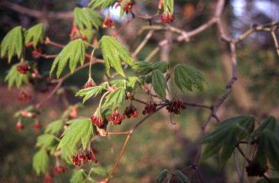 Acer japonicum (Fullmoon maple), flowers