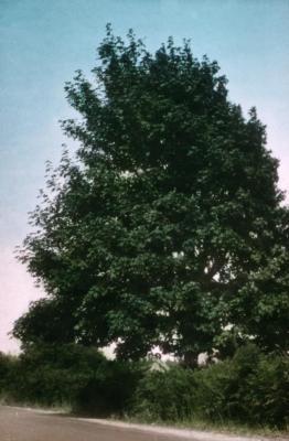 Acer macrophyllum (big-leaved maple)
