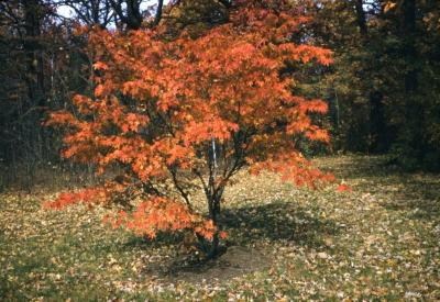 Acer japonicum (Fullmoon maple), fall color