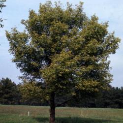 Acer negundo (boxelder), fall