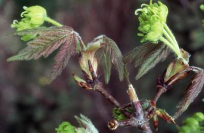 Acer griseum (paper-barked maple), flowers