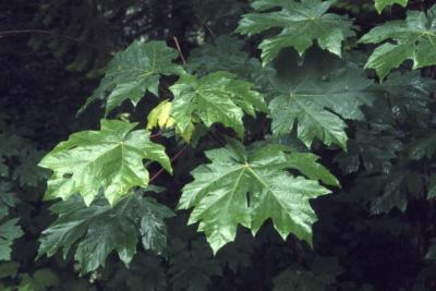 Acer macrophyllum (big-leaved maple), leaves