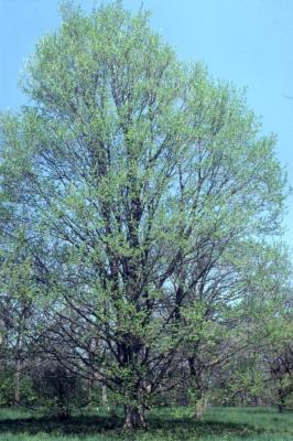 Acer miyabei 'Morton' (State Street maple), spring