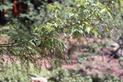 Acer henryi (Chinese boxelder), flowers