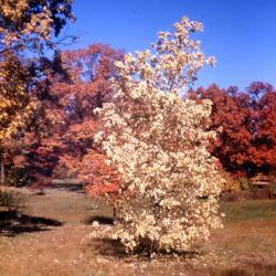 Acer negundo (boxelder), fall color