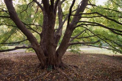Acer miyabei (Miyabe's maple)