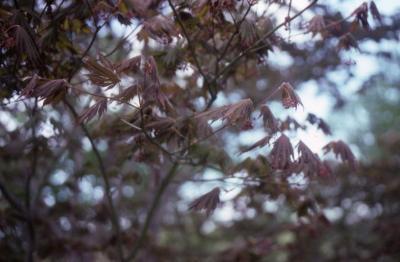 Acer palmatum x pseudosieboldianum (Japanese Korean hybrid maple), flowers