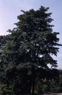 Acer macrophyllum (big-leaved maple), summer