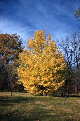Acer miyabei (Miyabe's maple), fall color