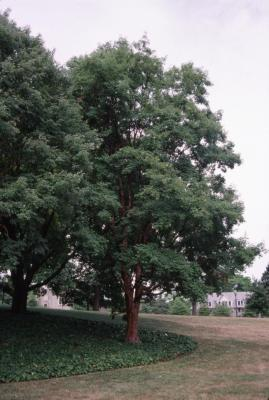 Acer griseum (paper-barked maple)